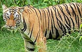 Alarming fall in number of tigers in Maharashtra