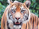 34 tigers killed in eight months due to poaching