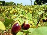 Govt sidesteps concerns over Bt brinjal
