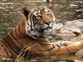 Notify fresh guidelines on tiger reserves in a week: SC