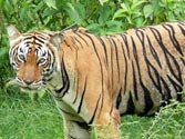Tigers in Wayanad: Myths and realities