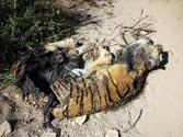 Mutilated tiger carcass at Ranthambhore National Park puts authorities in dock