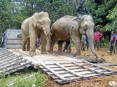 HC directs Madhya Pradesh govt to trans-locate and set free chained elephants at Indore Zoo