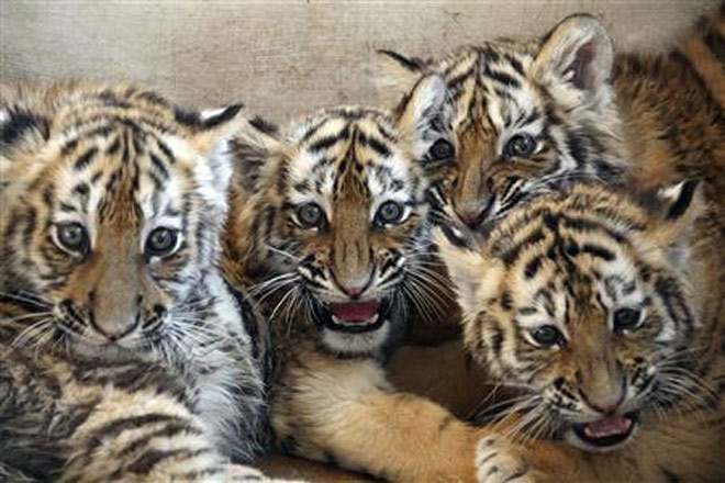 Forget cats and dogs, now adopt tigers, leopards - India News