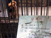 Behold the regal lion and hear its mighty... bark? Chinese zoo disguises hairy dog as lion