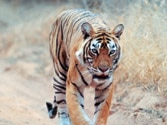 Most popular Ranthambore tigress, Machli goes missing