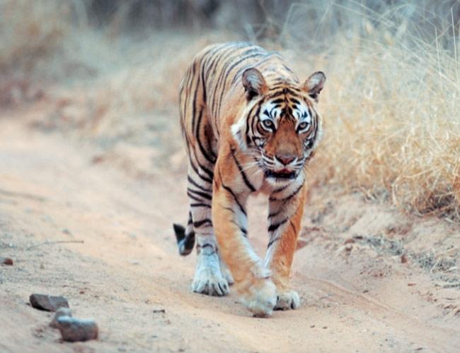 Tigress Machli