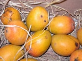 Alphonso disappears from European menus