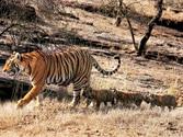 Tigress-T19 raises 4 cheers for Ranthambore