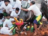 Supreme Court bans Tamil Nadu's bullfight game Jallikattu