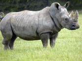 South Africa: A record number of 1,215 rhinos killed in 2014