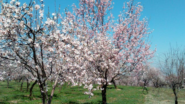 Spring colours bring new hope to kashmir india news the enchanting scenario is attributed to the thousands of almond trees that blossom and present a surreal blanket of white and pink in the majestic mightylinksfo