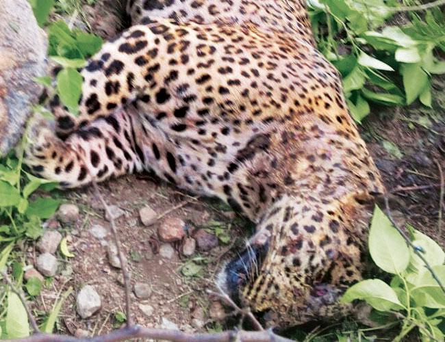 Poachers in Gurgaon use poison goats to kill leopards