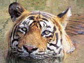 Tiger T-24 to stay in Ranthambhore after killing forest guard