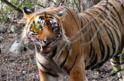 Tourism only source of income in 'tiger city' Sawai Madhopur