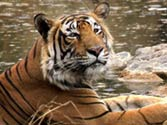 Ranthambore tiger shifted to Sajjangarh after killing forest guard