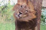 Gir National Park to stay closed for lions' mating season