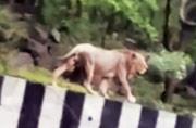 Excessive rains force lion out of natural habitat