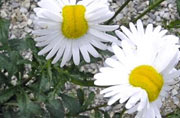 Mutant daisies spotted near Fukushima nuclear plant, photo goes viral