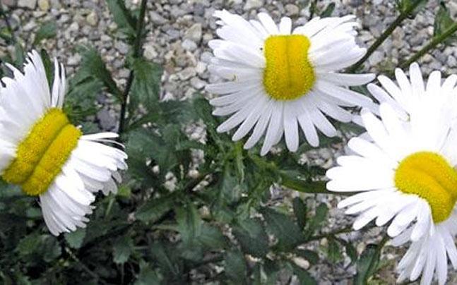 Mutant daisies spotted near Fukushima nuclear plant, photo goes viral -  World News