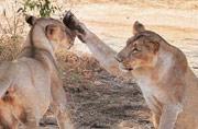Praveen Singh captures man-animal bonding in India's Wandering Lions