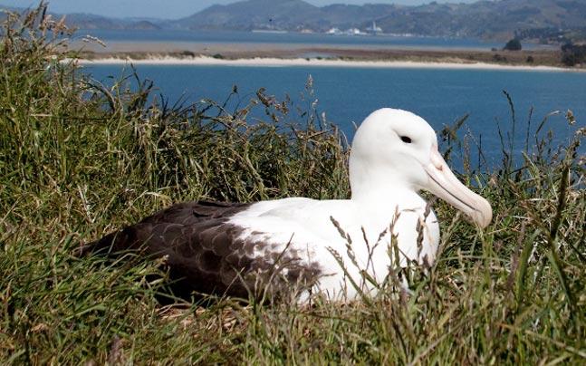 Albatross in Dunedin