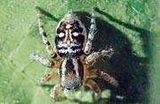 New species of spider found in Delhi sanctuary