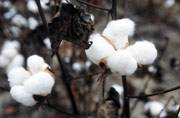 India becomes world's largest producer of cotton
