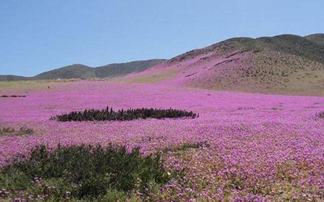 Atacama Desert Driest Place On Earth Turns Into Pink Flower Garden