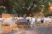 5 government shelters, but no achhe din for cows