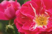 The health benefits of the rose or desi gulab