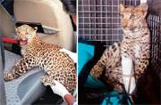Chained leopard cub rescued from farmhouse
