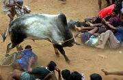 SC stays Centre's notification lifting ban on traditional bull taming sport Jallikattu