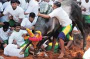 SC to hear appeal against Centre's nod to Jallikattu today