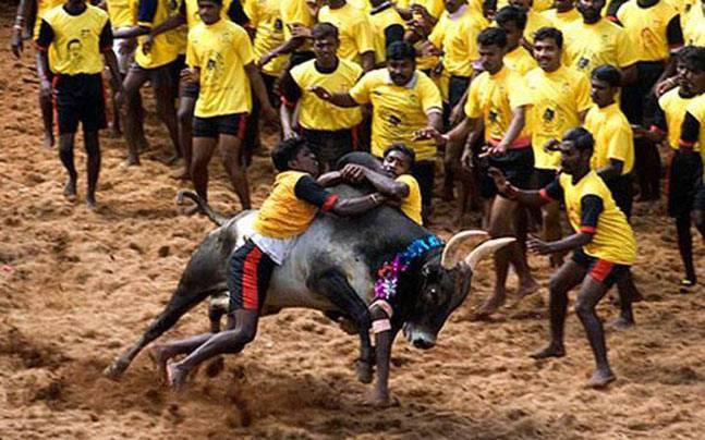 Bull-taming sport Jallikattu
