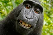 Monkey cannot get rights to selfie, says judge