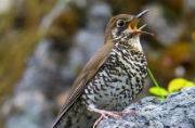 Himalayan Forest Thrush: New bird species found in India