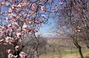 Kashmir: Warm winter in seven decades brings early almond blossom
