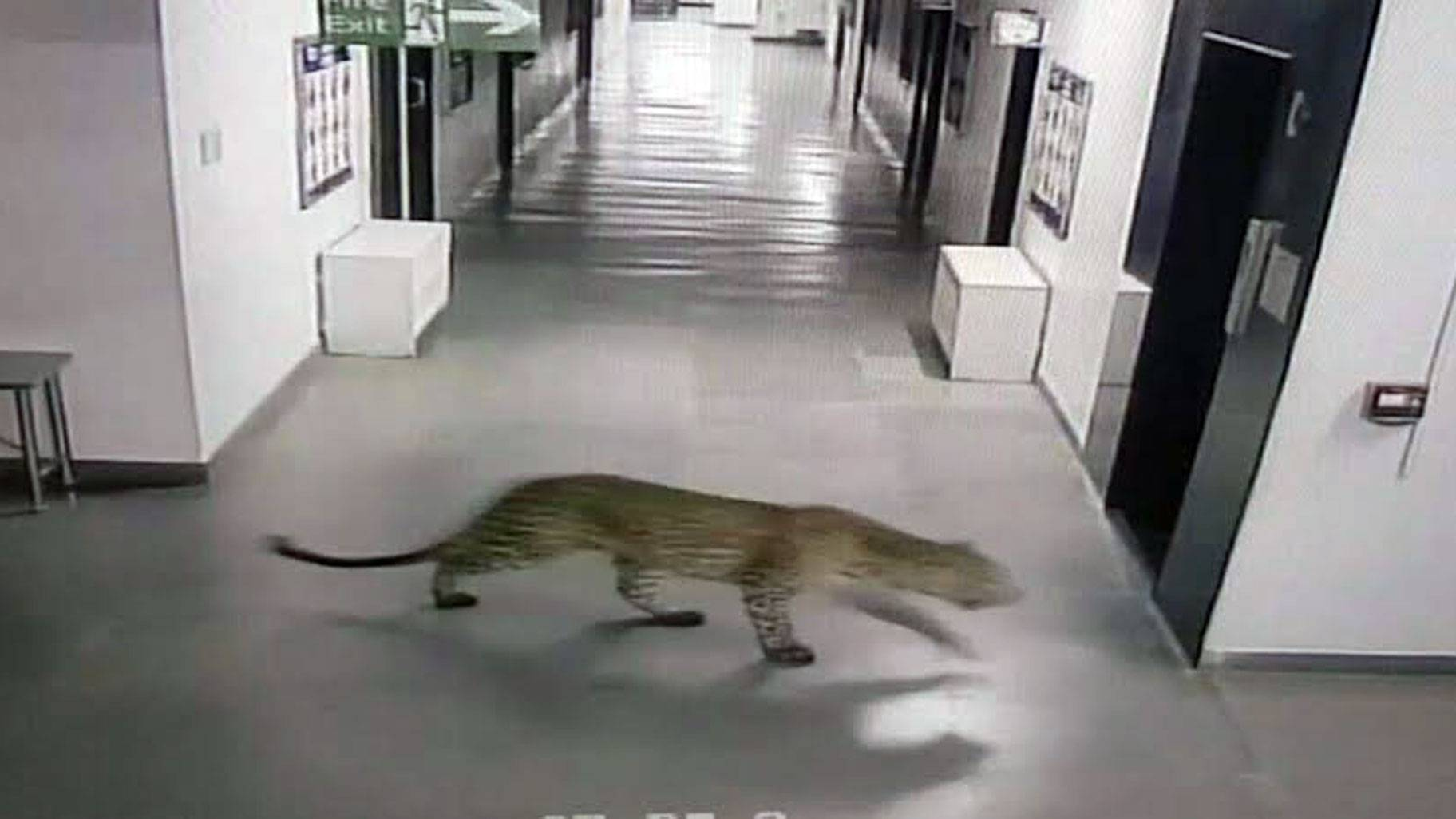 Leopard caught at Bengaluru school escapes