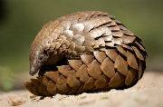 World Pangolin Day: 10 facts about the endangered anteater