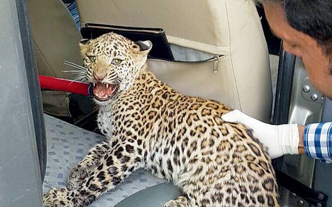 Leopards come towards areas with human population to look for food, especially in summer.