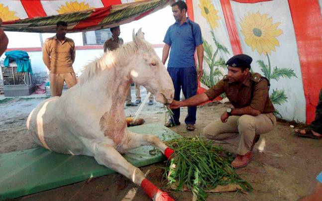The injured horse. Photo: PTI