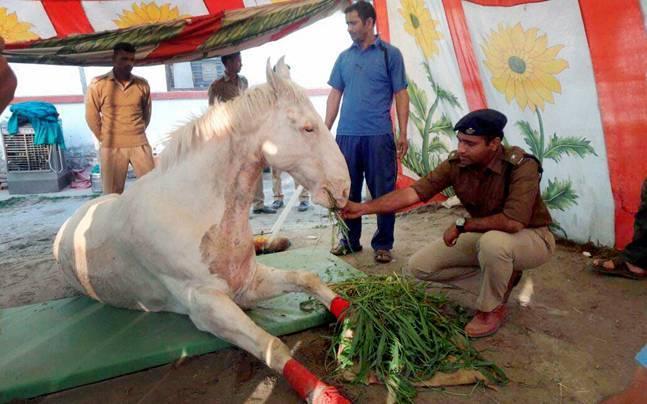 The injured horse. Photo: PTI