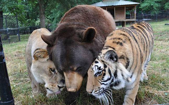Meet Baloo the bear, Leo the lion and Shere Khan the tiger