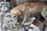 Brave dog dies of fatigue after rescuing 7 people trapped under rubble in Ecuador earthquake