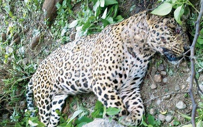 The carcass of a leopard was found at Gairatpur at the foothills of Aravalis.