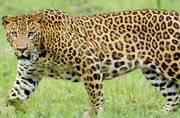 42 leopards spotted in Kalesar National Park, Haryana