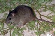 Australian rodent becomes the first mammal to go extinct due to climate change