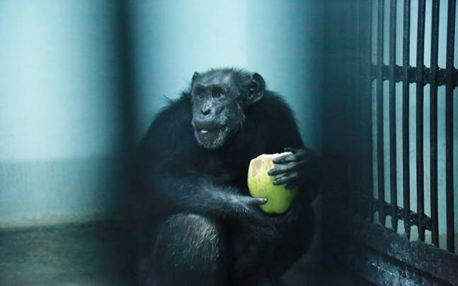 Meet Hyderabad Zoo S Star Sahara Chairman S Chimp Suzy Only Has