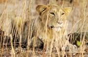 18 lions in Gujarat put on trial for murder; 'Guilty lion' will be kept in a zoo for life